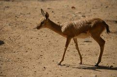 Deer rotating in the jungle -2, Tal Chapar, Churu, Rajasthan & x28;India& x29; ... Deer rotating in the jungle-2, Tal Chapar, Churu, Rajasthan & x28;India& x29 royalty free stock images