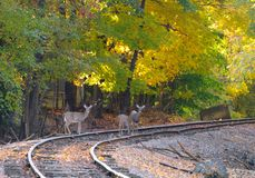 Deer on RR. Three deer pause on an old railroad track in an autumn woods Stock Photos