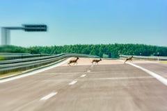 Deer run over an empty highway stock photo