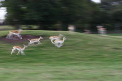 Deer running Royalty Free Stock Photos