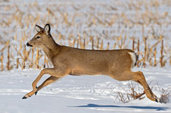 Deer Running Royalty Free Stock Images