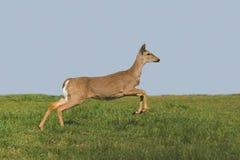 Deer Running Royalty Free Stock Image
