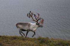 Deer running along the lake shore. Stock Photography