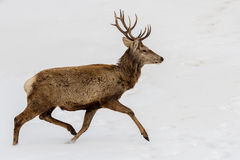 Free Deer Running On The Snow In Christmas Time Royalty Free Stock Photography - 63378997