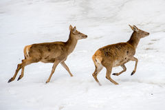 Deer running on the snow in christmas time stock photography