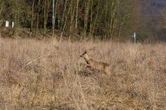 Deer runs away Royalty Free Stock Photos