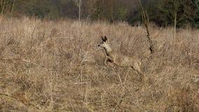 Deer runs away Royalty Free Stock Photo