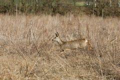 Deer runs away Stock Photography
