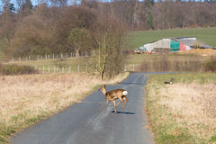 Deer runs away Stock Images