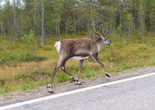 Deer runs on road Royalty Free Stock Image