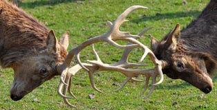 Deer Rut Royalty Free Stock Photos