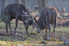 Deer rut Royalty Free Stock Images