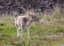 Deer during the rut Royalty Free Stock Photography