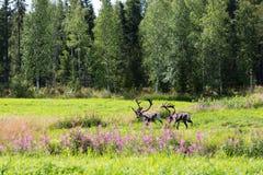 Deer in rut. Two deer in the woods in summer Stock Image