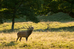 Deer at rutting season Royalty Free Stock Images