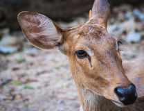 Deer's eyes contact, selective focus Stock Images