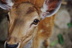 The deer's eyes. Deer's innocent eyes,Animal,moving Stock Image