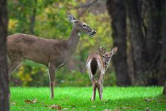 Deer's family. Shenandoah National Park. Virginia Royalty Free Stock Photo