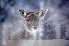Deer in it`s habitat. Double exposure of a fallow deer and pine forest Stock Images