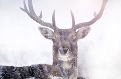 Deer in it`s habitat. Double exposure of a fallow deer and pine forest Stock Photos
