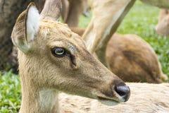 Deer's portrait Stock Photography