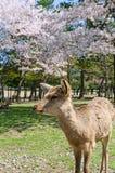 Deer and Sakura at Nara Park Stock Photography