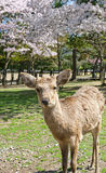 Deer and Sakura at Nara Park Royalty Free Stock Photos