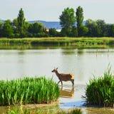 Deer in salburua park Stock Photo