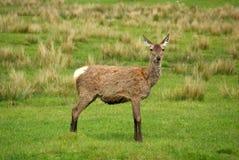 Deer in Scotland Stock Photo