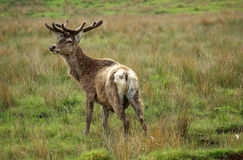 Deer in Scotland Royalty Free Stock Photo