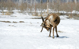 Deer is scratching horns itself Royalty Free Stock Photography
