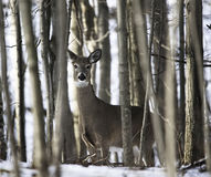 Deer in the Forest. A deer is seen prowling the hilly wooded areas on Rotterdam, New York Stock Image