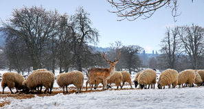 Deer and sheep in the snow eating hay Royalty Free Stock Photography