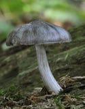 Deer Shield Fungus Stock Photography