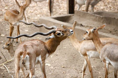 Deer. Shot at indore zoo, Mp INDIA Stock Image