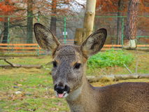 Deer. A deer showing its tongue Stock Photography