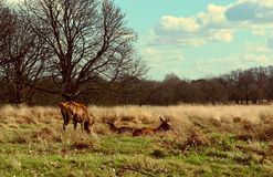 Deer sighting in the sunset at Richmond Park, London stock images