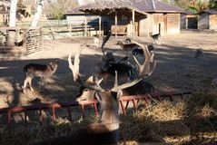 Deer at zoo. Deer singular and plural are the hoofed ruminant mammals forming the family Cervidae. The two main groups are the Cervinae, including the muntjac stock images