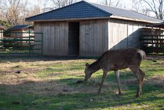 Deer at zoo. Deer singular and plural are the hoofed ruminant mammals forming the family Cervidae. The two main groups are the Cervinae, including the muntjac royalty free stock image
