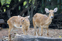 Deer. (singular and plural) are the ruminant mammals forming the family Cervidae Royalty Free Stock Images
