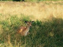 Deer sitting in a Field Stock Image