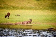 Deer sitting grazing Royalty Free Stock Image