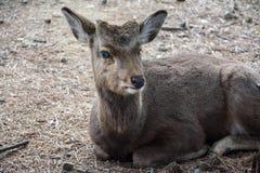 Deer. Sitting deer grazing in winter Royalty Free Stock Photos