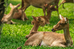 Deer sitting in the green field. Royalty Free Stock Photos