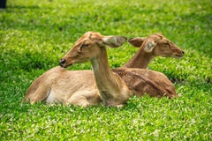 Deer sitting in the green field. Stock Images
