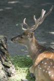Deer sitting Stock Image