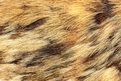 Deer skin Stock Images