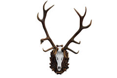 Deer skull. With big horn hunting trophy isolated Royalty Free Stock Photo