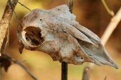 Deer skull Stock Image