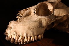 Deer Skull. Menacing Deer Skull against darkness Royalty Free Stock Photography